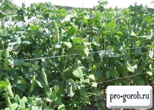 Выращивание гороха Глориоза