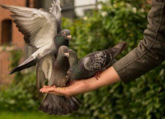 Можно ли давать горох голубям