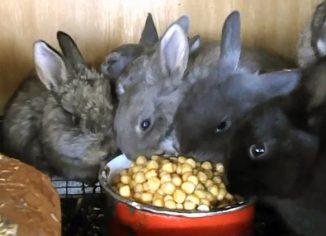 Можно ли давать горох кроликам