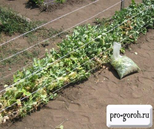 Выращивание гороха Амброзия