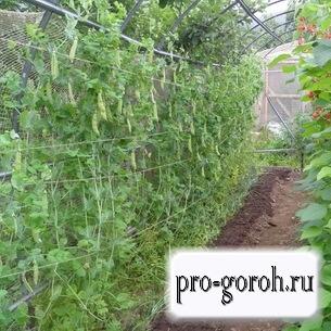 Выращивание гороха в закрытом грунте