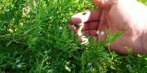 Как растет чечевица: описание сортов, технология выращивания, урожайность, срок хранения, фото