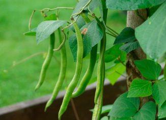 Фасоль стручковая: как выращивать и когда сажать